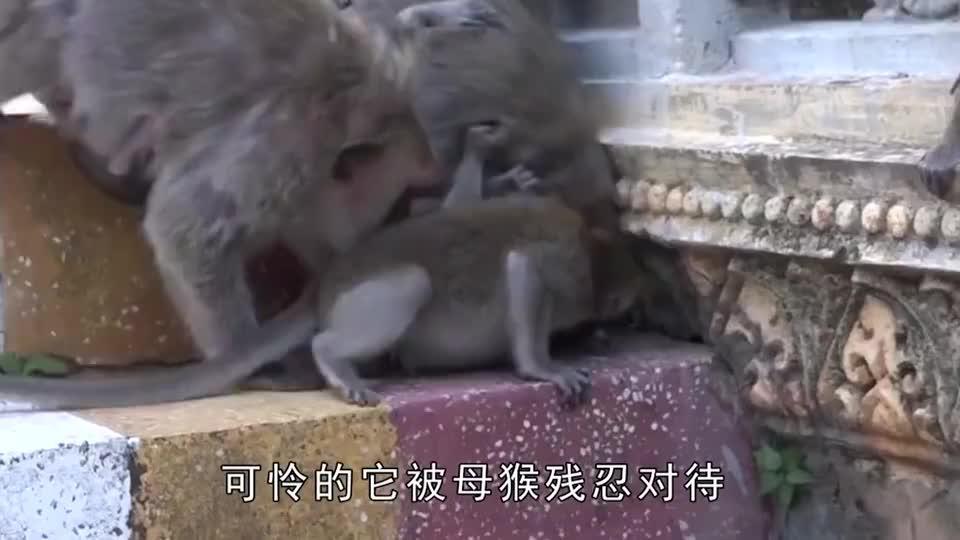 母猴被吓得到处乱跑,死死的拽着小猴的尾巴拖着跑,小猴痛不欲生