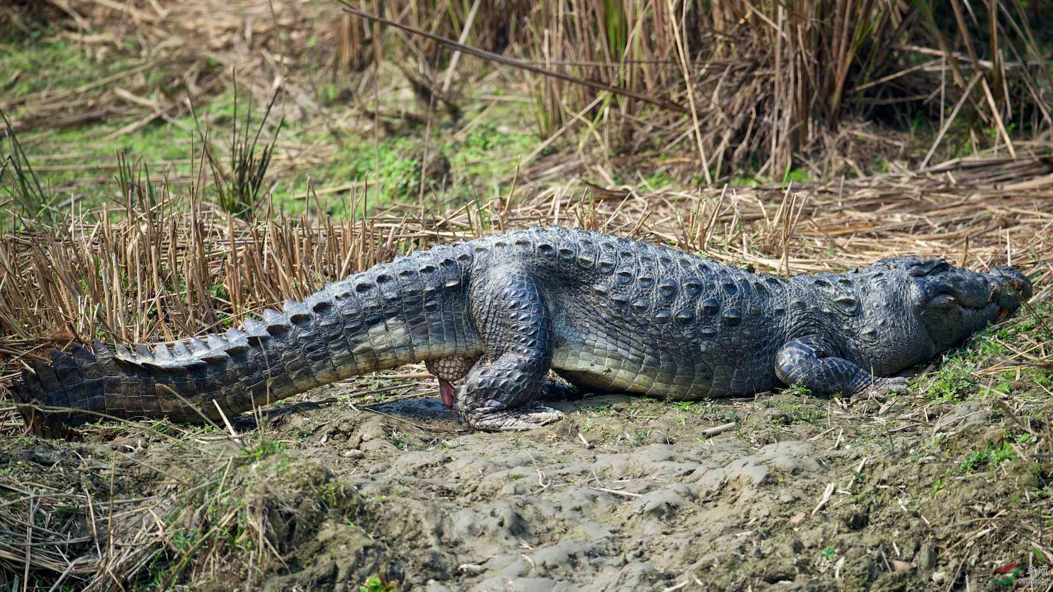 鳄鱼会翻墙美国一条短吻鳄翻过围栏进入海军基地