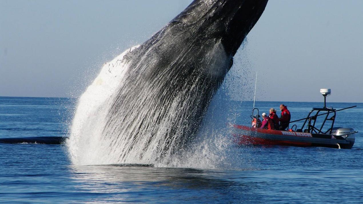 30吨座头鲸从海里一跃而下!看看这霸气的进食过程,每口按吨算