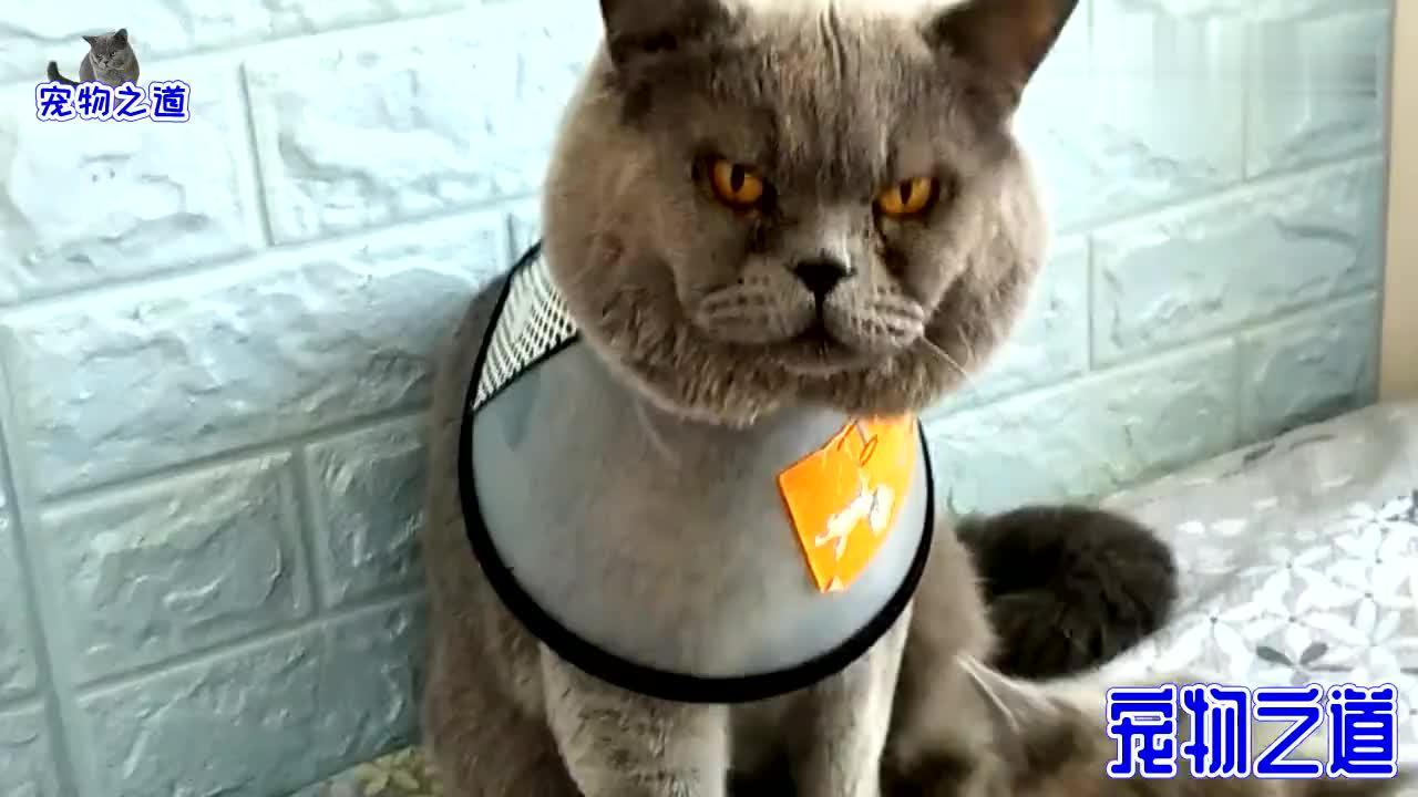 主人给胖公猫戴上脖圈它发脾气绝食抗议这表情承包一天笑点