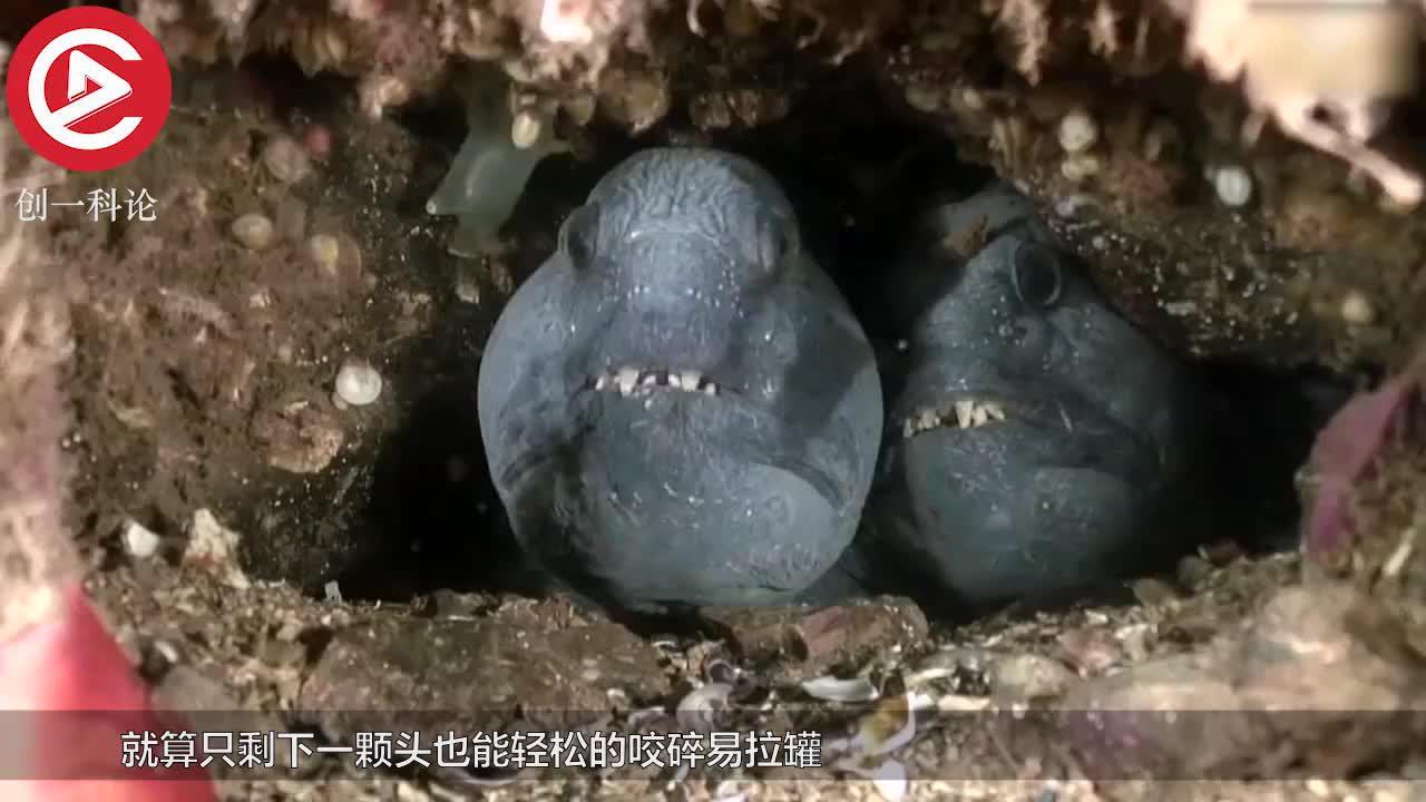 海洋中的凶猛鱼类切掉下半身只剩脑袋还能轻松咬碎易拉罐