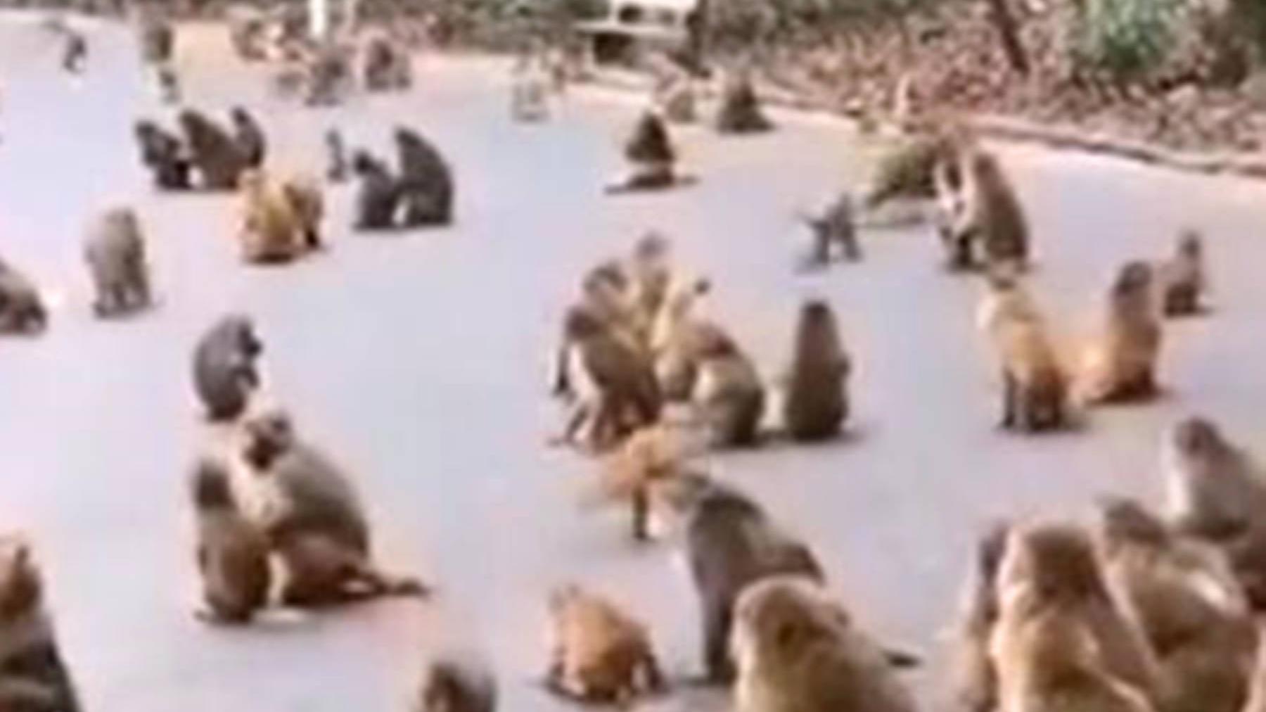 景区无人光顾!猴儿们难捱饥饿成群结队下山堵路