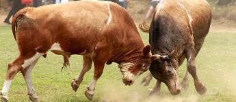 囧哥: 路口惊现两头牛决斗