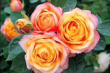 """想在家中养护花卉,就养""""浪漫宝贝"""",花色艳丽,花瓣层层叠叠"""