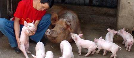 囧哥:男子开果园不成用果养猪
