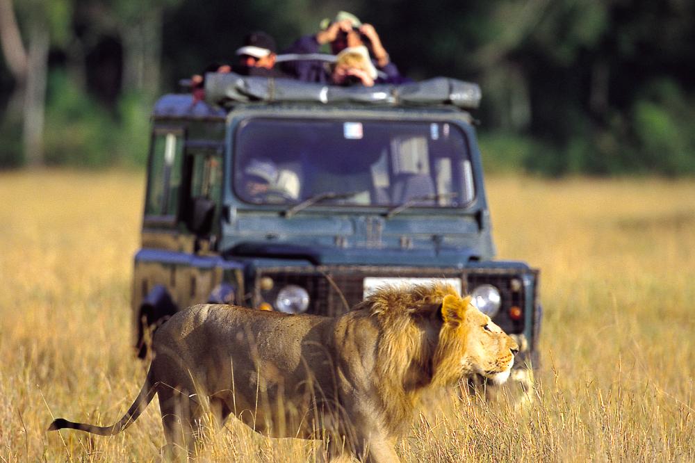 去非洲看动物的中国游客被吓坏了,在草原看狮子竟然坐敞篷车