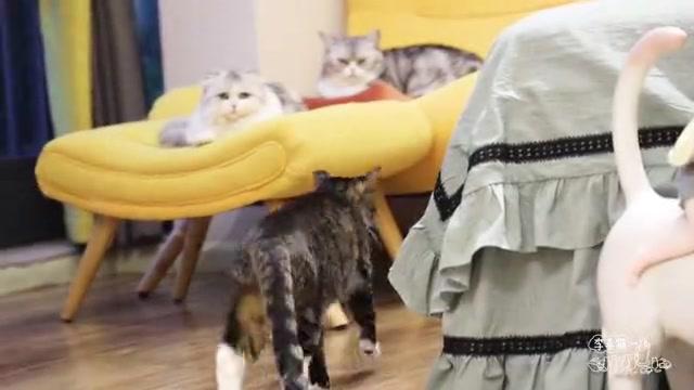 猫咪偷主人橡皮筋玩得很嗨,不料自食其果差点被弹嘴