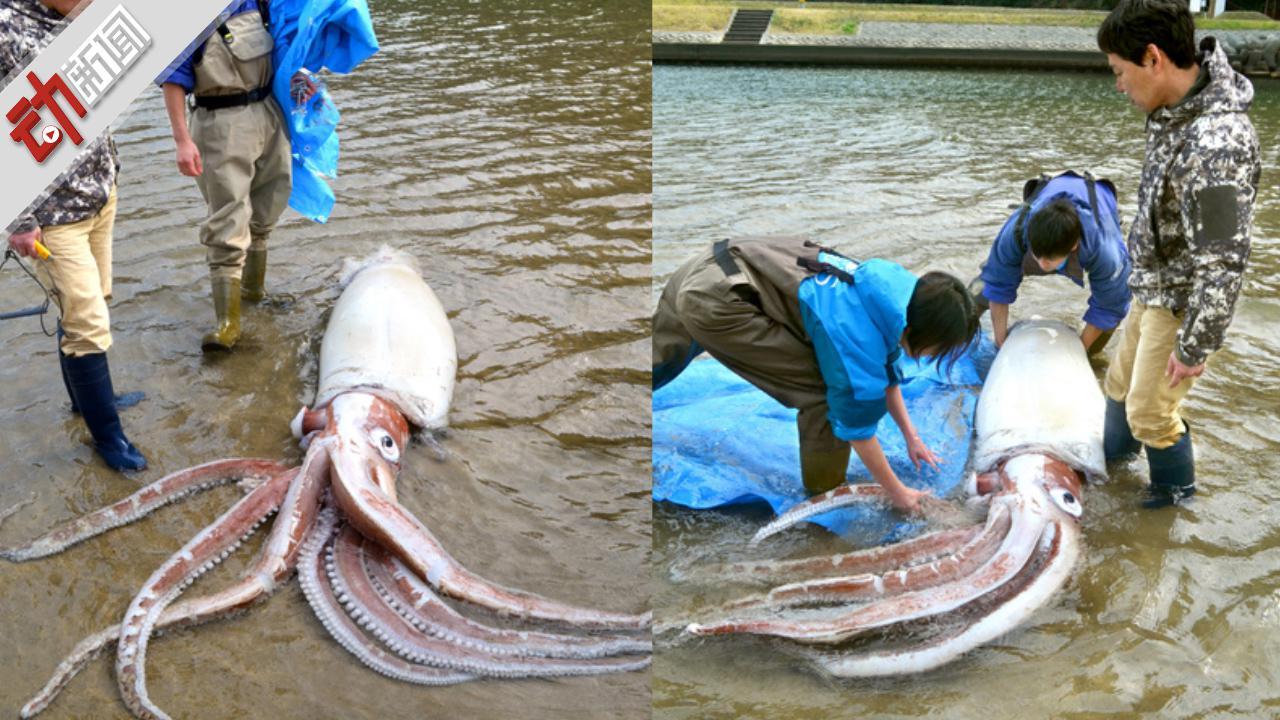 长3.4米!日本近海发现大王乌贼尸体 网友担心或是地震前兆