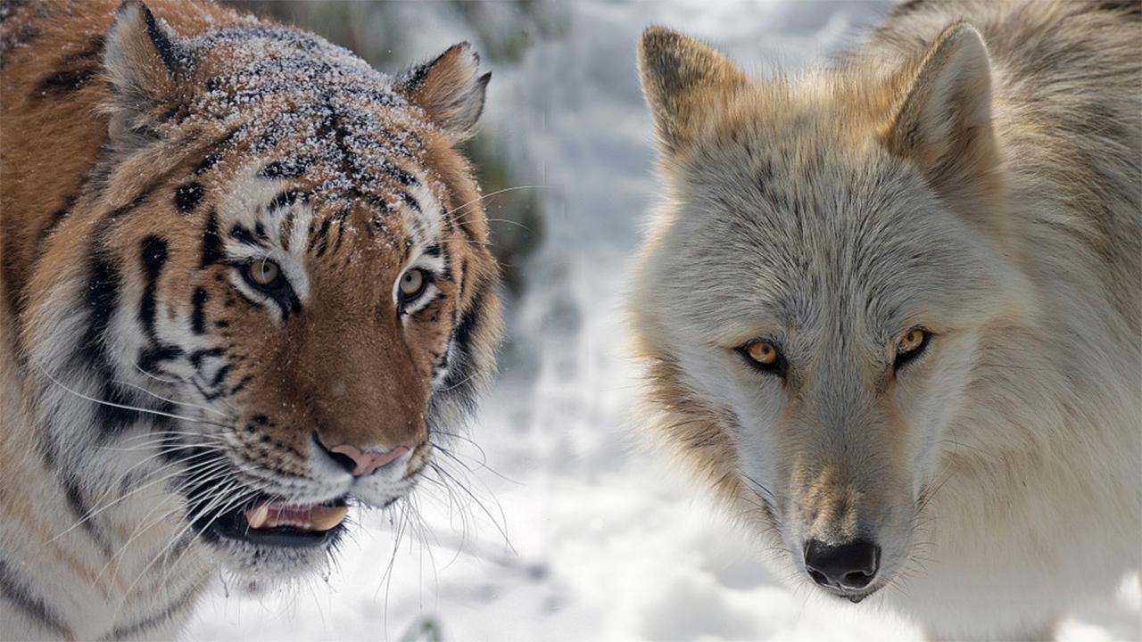 东北虎遇上西伯利亚狼,只有逃跑的份吗?它们谁更厉害