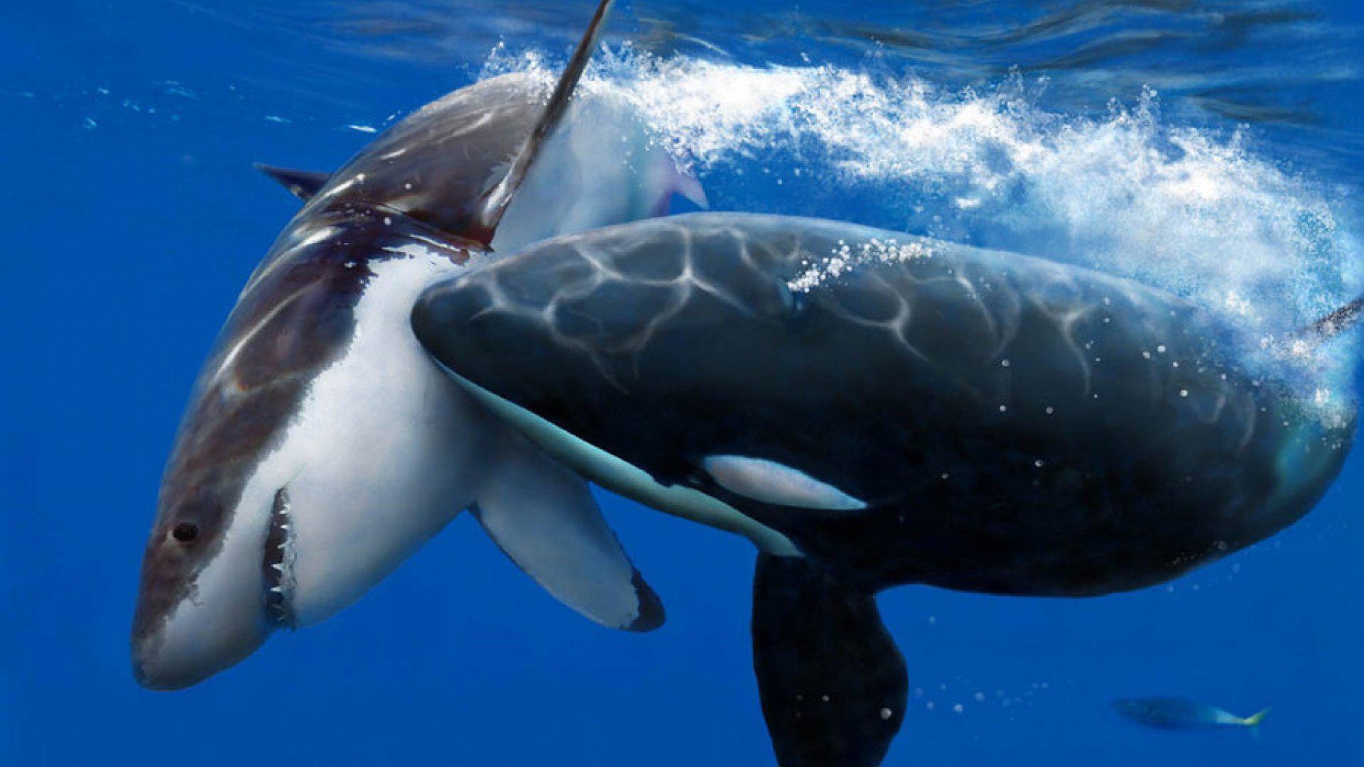 鲨鱼天敌是虎鲸,为何鲨鱼遇到天敌时,不逃命反而任其撕咬呢?