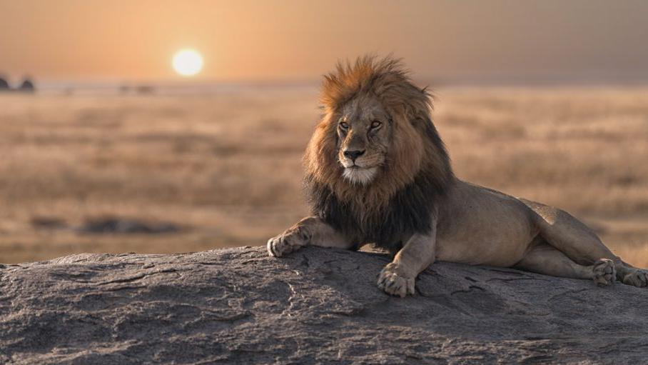 狮子或正走向灭绝,为何要保护狮子?其实对生态平衡非常重要