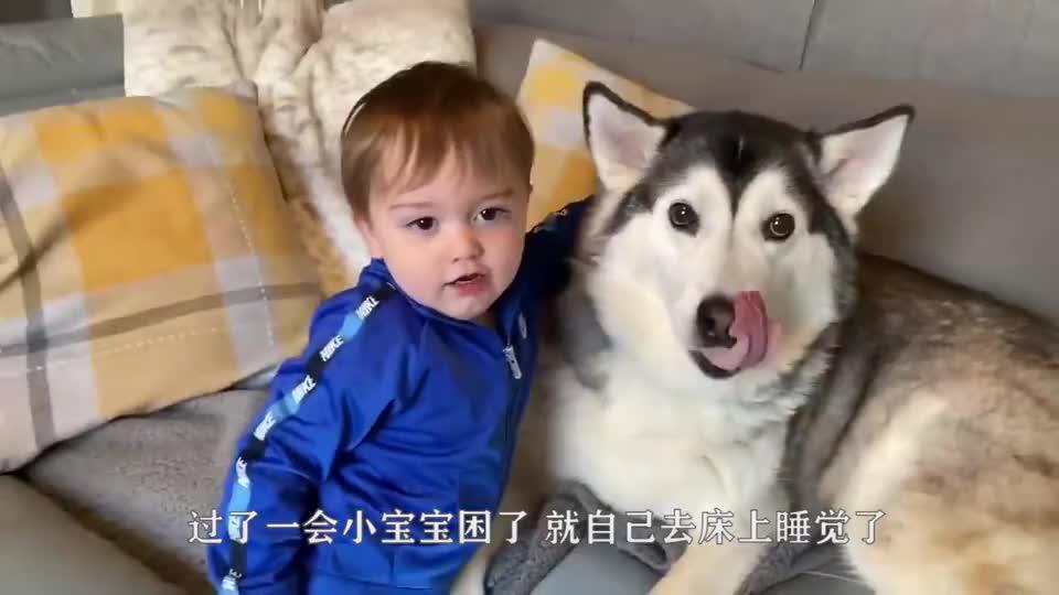 主人有事要哈士奇帮忙带娃,当主人回到家一看,直接气得要卖狗!