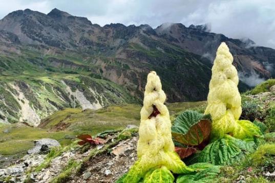 """喜马拉雅山的巨型""""白菜"""",非常稀有,比雪莲还珍贵!"""