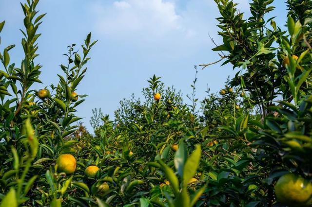 茶人茶事 | 挑选和认识正宗柑普茶的五大关键点