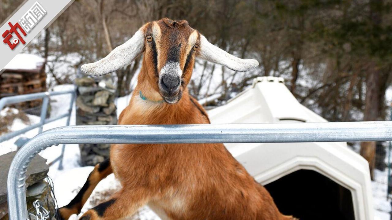 """美国小镇办""""动物镇长选举"""" 3岁山羊当选 汪星人落选"""
