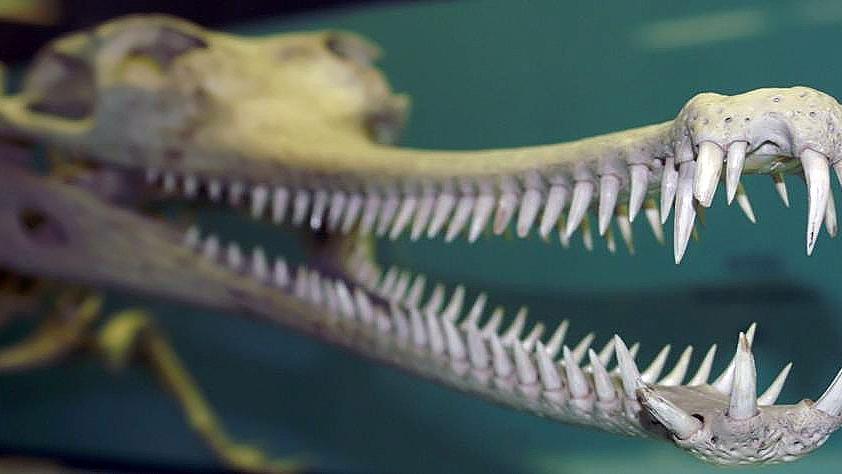 喜马拉雅山下现长嘴巴动物,嘴巴上长110颗尖牙,只能抓鱼当食物