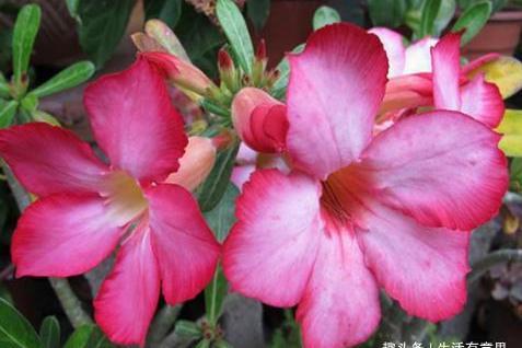 家中沙漠玫瑰,连续2年,2次开花,养护秘诀2个字,爆盆成日常