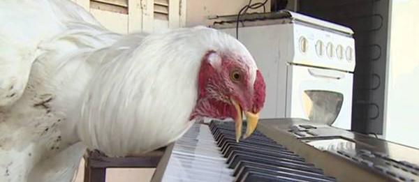 囧哥:训练公鸡弹钢琴