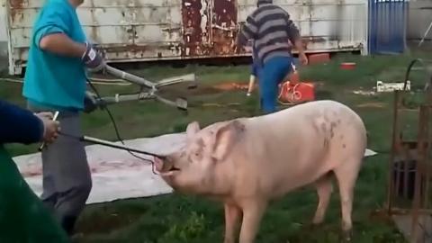 实拍老外杀猪,大白猪瞬间倒地,这个方法值得推广!