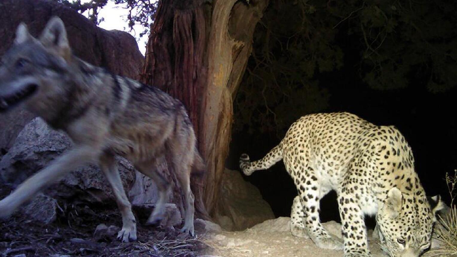 北美灰狼是犬科动物最大,如果遇到了花豹,打起来谁会赢?
