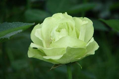 它被称天上之花,花开清澈靓丽,似悠悠小泉,象征着永恒常青