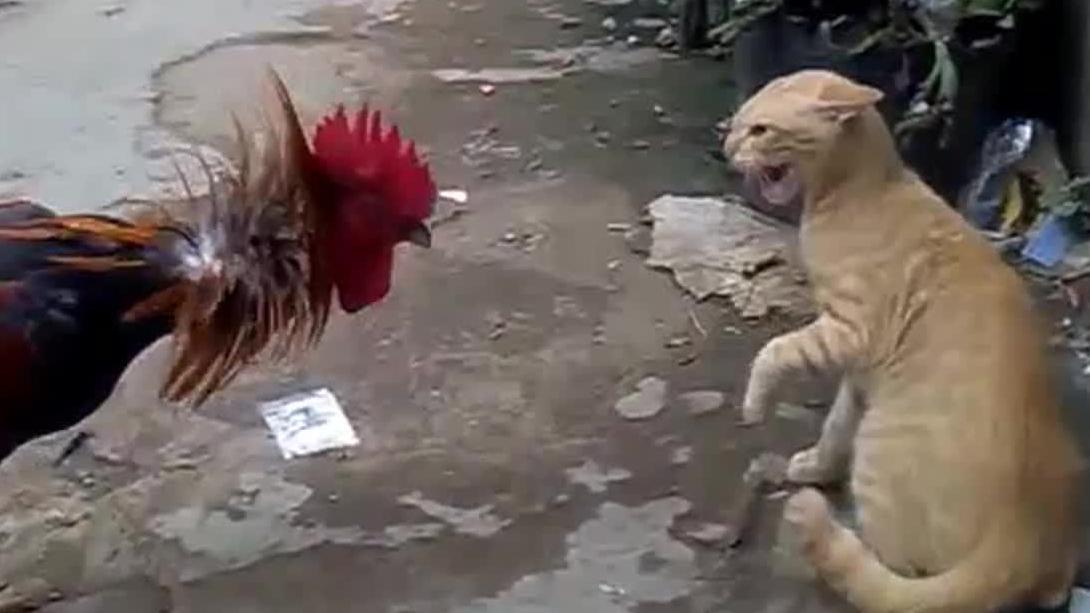 无所畏惧的大公鸡战斗姿态攻击猫星人猫爪功反击