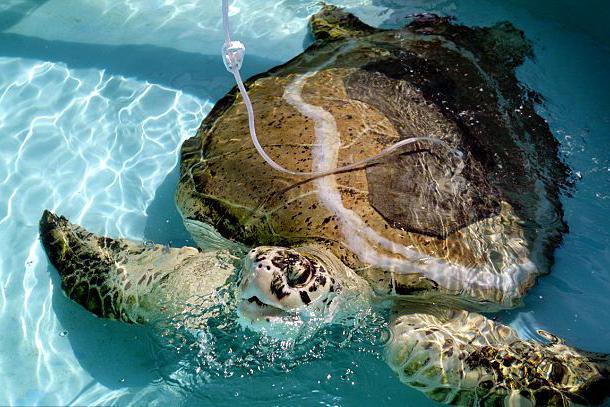 男子海边发现异常的大海龟,靠近一看立刻打电话求助