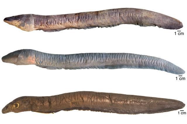 世界上最强的生物发电机,科学家发现电鳗新物种,电压高达860伏
