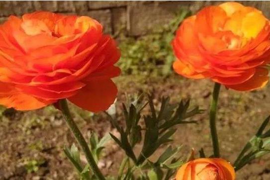 像芹菜的植物花卉,开花时竟有拳头般大,漂亮更是不输玫瑰
