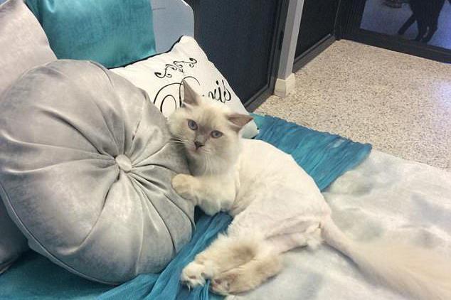 豪华酒店只接待宠物猫 提供水疗刷牙专车接送服务