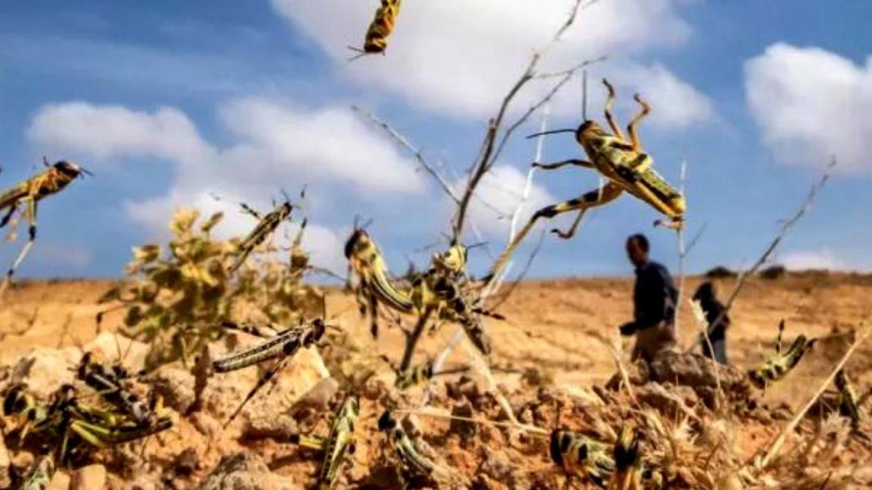 蝗灾已到印度,引发多国粮食危机,专家:直接进入中国可能性不大
