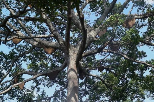 景迈山上有棵奇树  重重枝丫上吊缀满密密的野蜂巢