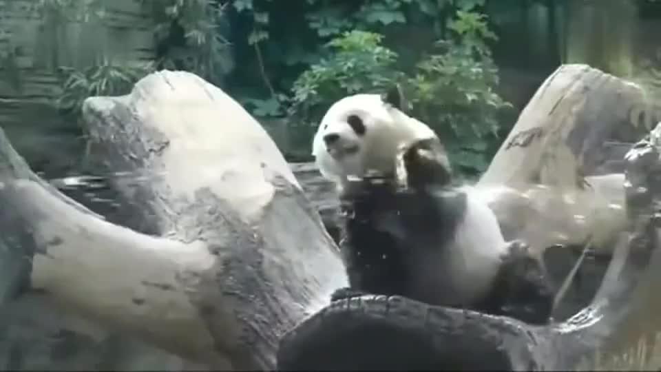 大熊猫真是调皮看见管理员在喷水立马跑过去玩水