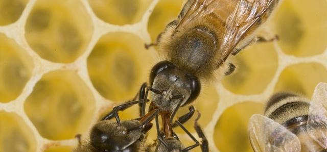 两个不同地点的蜂群如何合并?用好这2招,轻松解决