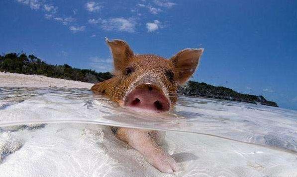 这里是全球唯一的猪岛,住着全球最幸福的猪,最爱晒太阳洗海澡