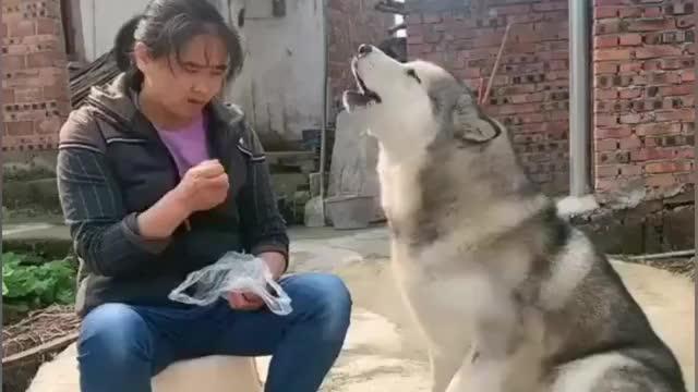 阿拉斯加犬和奶奶唠嗑你一句我一句正常交流无压力