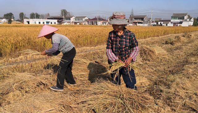 10小时捡稻穗8斤,老奶奶颗粒归仓,为的是夭折60年的哥哥