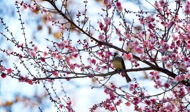 河南郑州:春光明媚街头红梅绽放,画眉鸟儿鸣叫枝头春意浓!