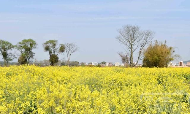 蓝天下美艳盛开的油菜花,赣南故乡醉美的春色