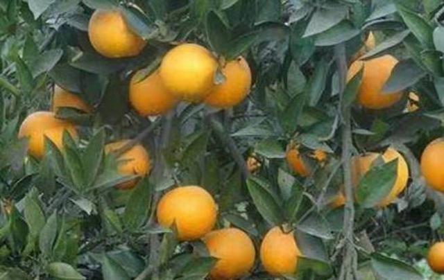 重庆市忠县中国柑橘城