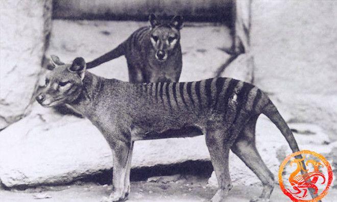 一组被人类灭绝的动物老照片:图六被猎杀制成甲胄