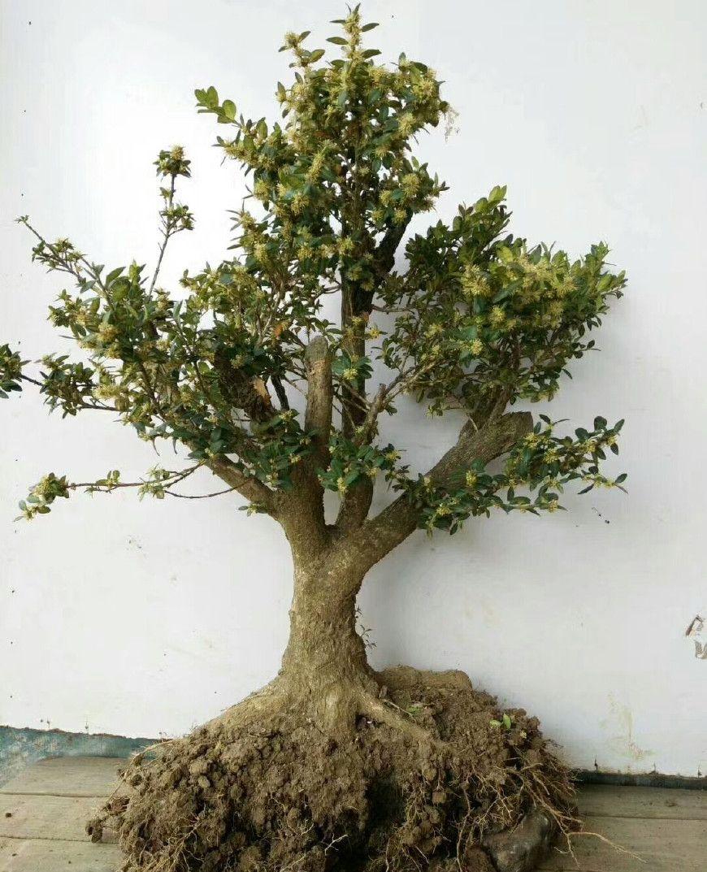 山区疙瘩马尾松和疙瘩黄杨不少,很多盆友买来做盆景,漂亮!