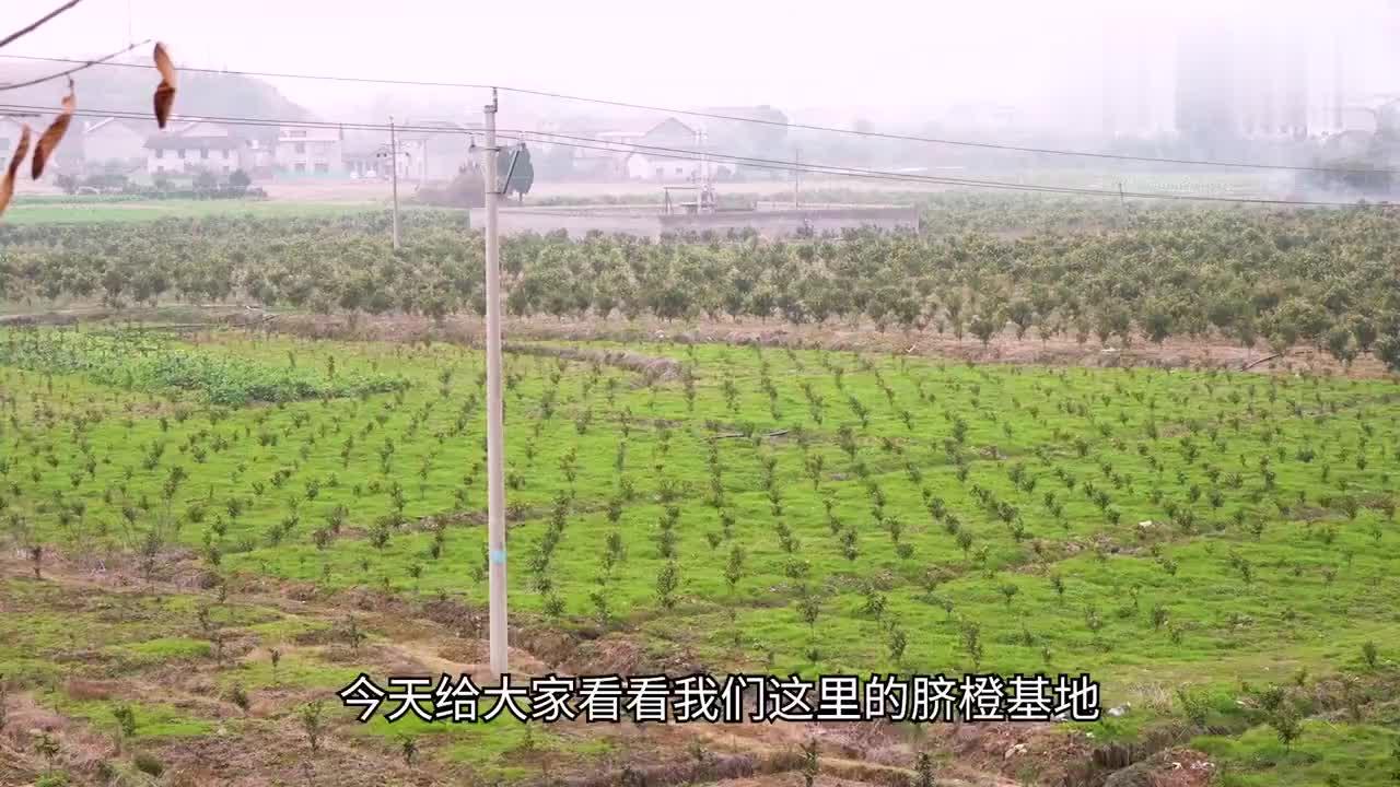 湖南农村上百亩脐橙基地规模这么大能赚到多少钱