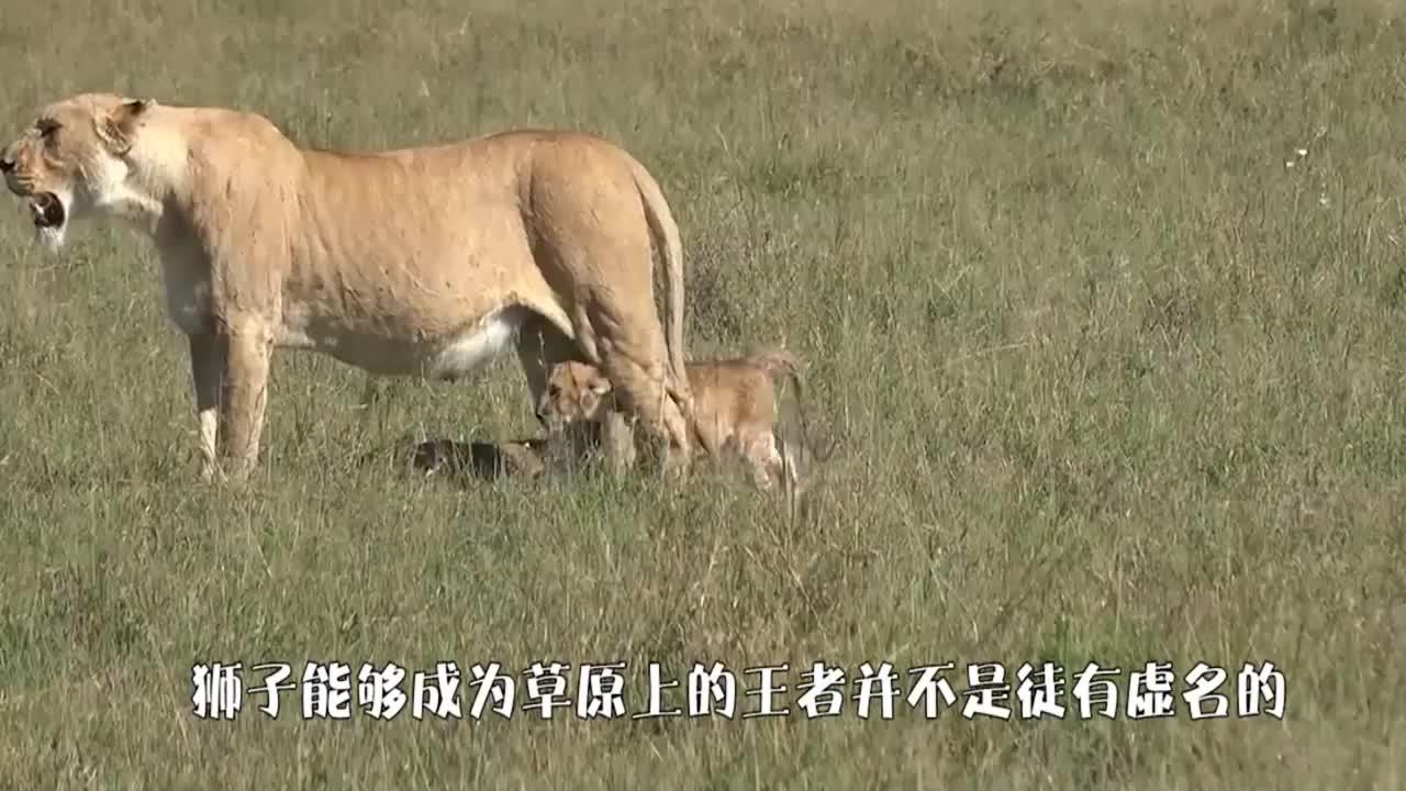 雄狮猎杀落单角马死死咬住脖颈直至断气场面太残忍