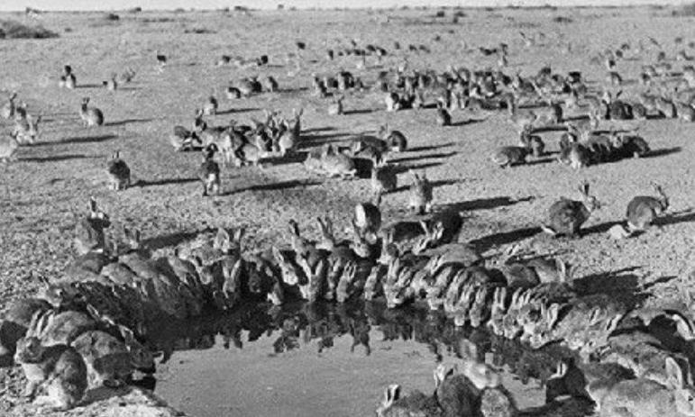 澳洲一动物泛滥致使百亿损失,国内却被吃到人工繁殖,一只就上百