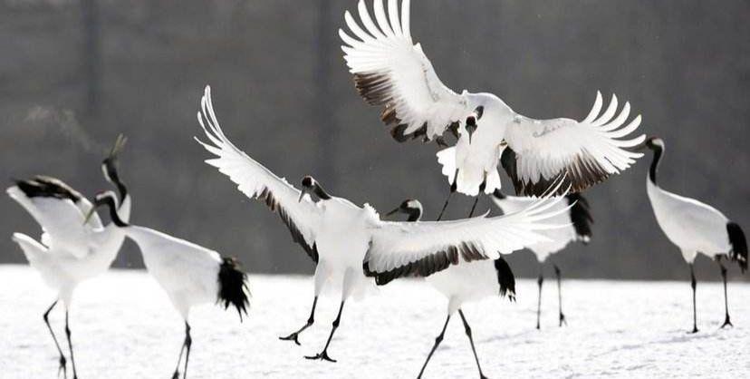 """冬季的北海道钏路,能欣赏丹顶鹤""""跳舞"""",景象无比壮观"""
