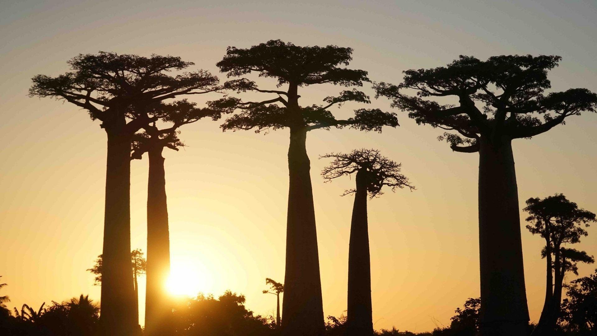 非洲 马达加斯加 穆龙达瓦 猴面包树大道