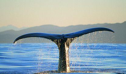 境外旅游去这些地方看鲸鱼才是不错的选择
