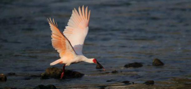 跟随摄影师的镜头,走进汉江源头,欣赏珍稀鸟类朱鹮的美丽