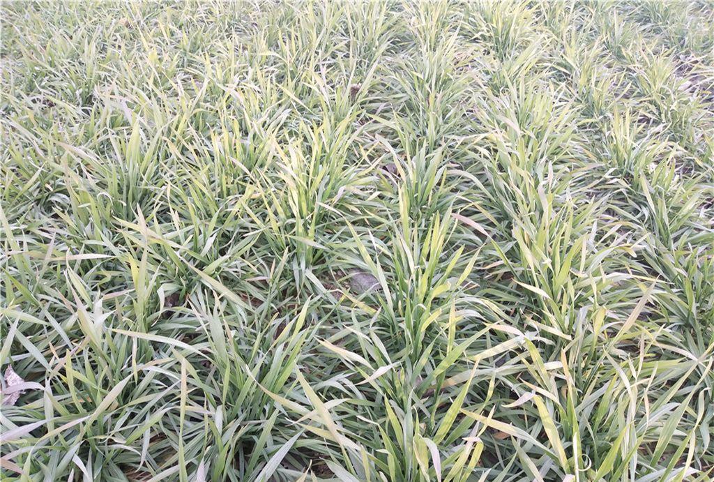冬日的麦田生机勃勃,在阳光下吸收着营养,努力成长